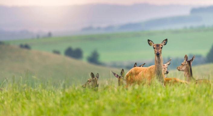 Melior Deer