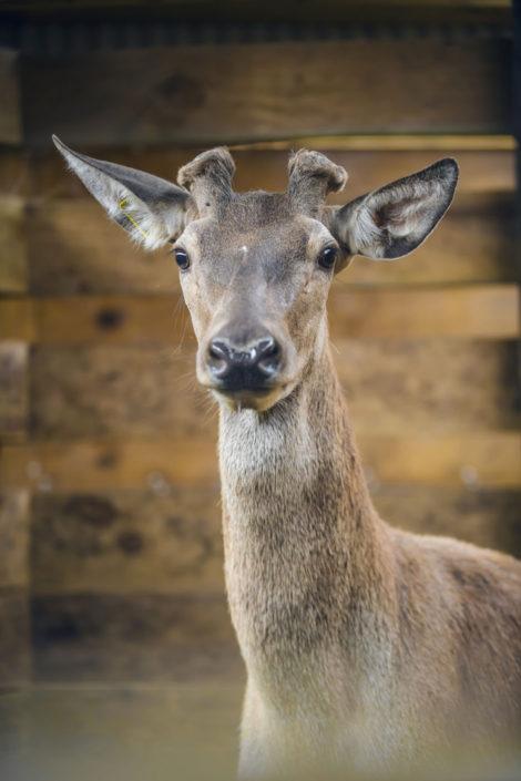 melior-deer